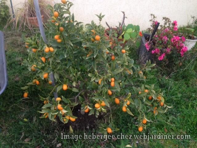 kumquat-2.3.17.jpg