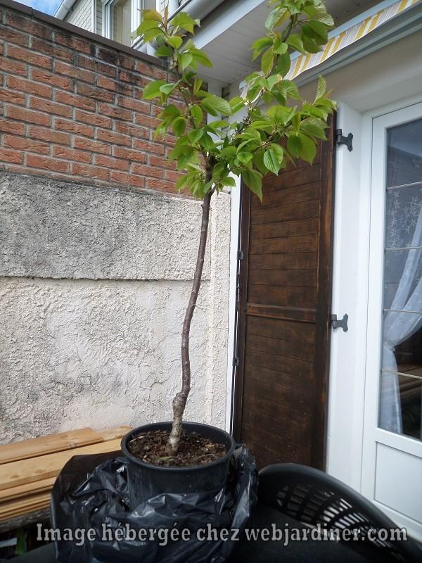 cerisier003.jpg