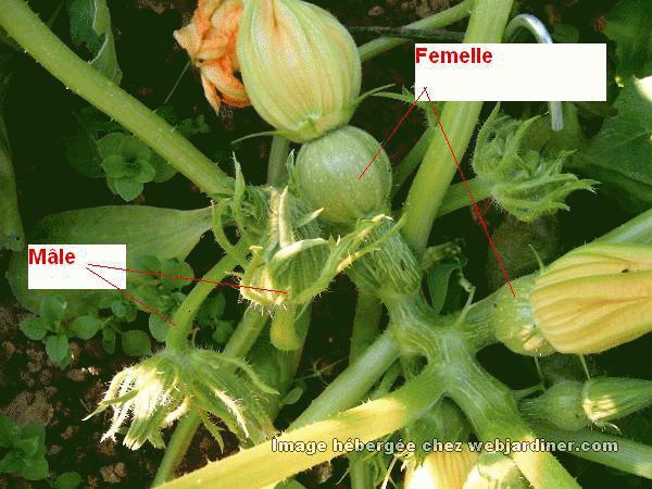 Courgettes maladie forum du jardinage amateur - Fleur de courgette male ...