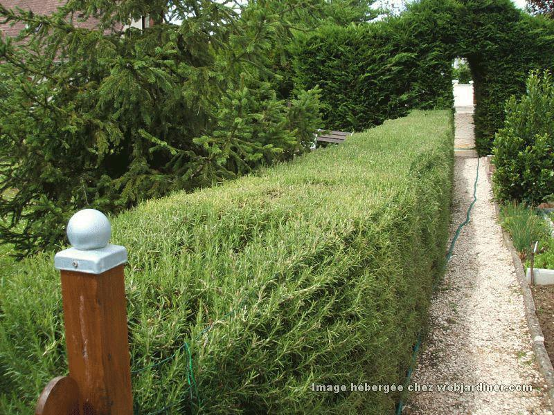 Romarin] bouturer - Forum du jardinage amateur