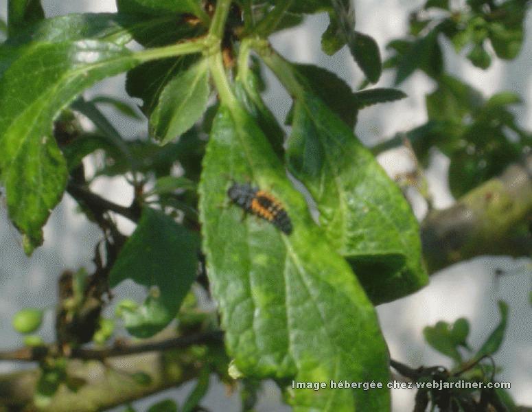 puceron parasites sur prunier forum de discussions sur le jardinage en amateur. Black Bedroom Furniture Sets. Home Design Ideas