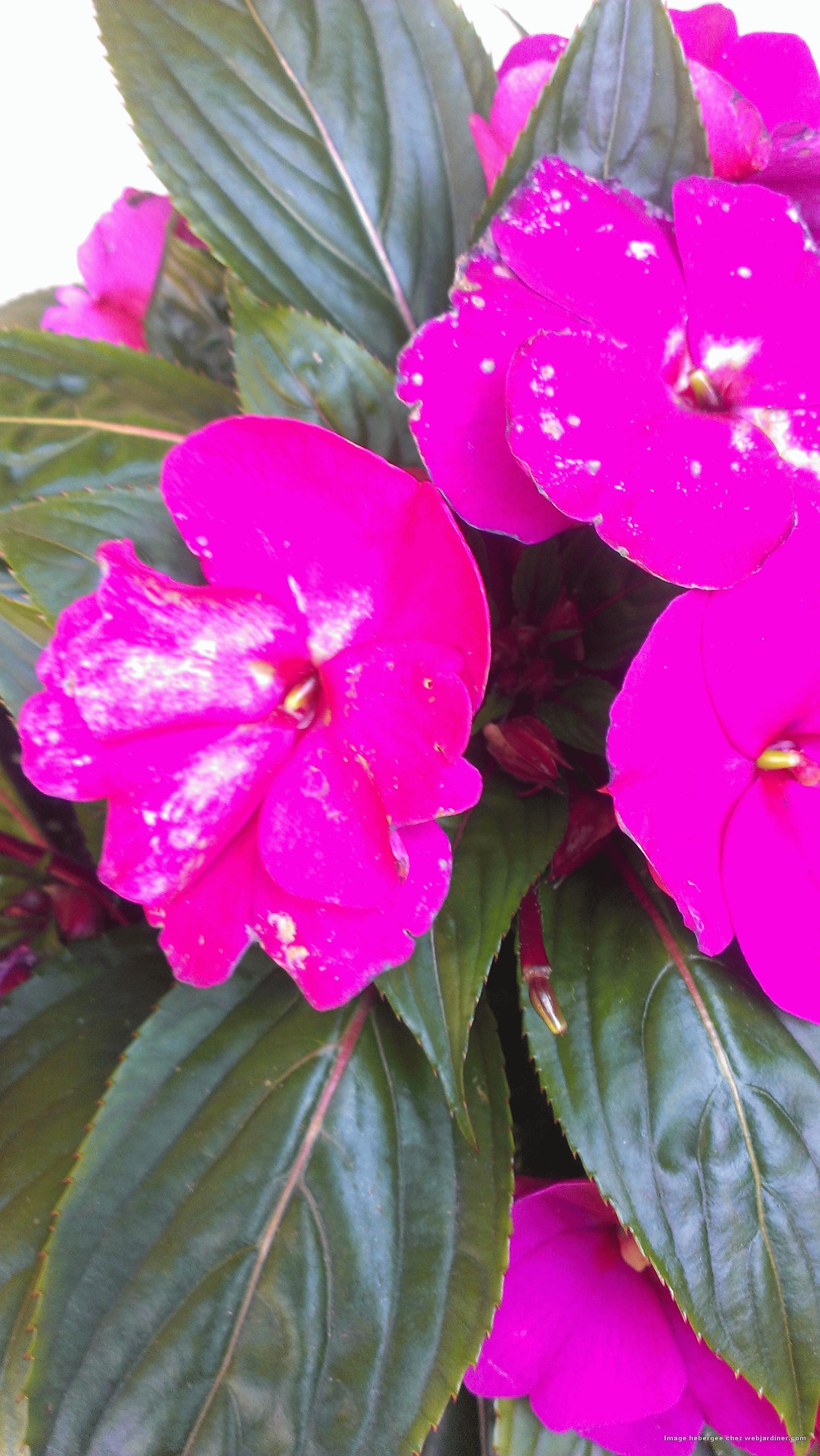Impatiens nlle guineea taches blanches fleurs forum du jardinage amateur - Impatiens de guinee l hiver ...