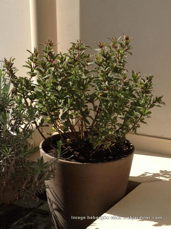 Plantes pour terasse forum du jardinage amateur - Arrosage basilic en pot ...