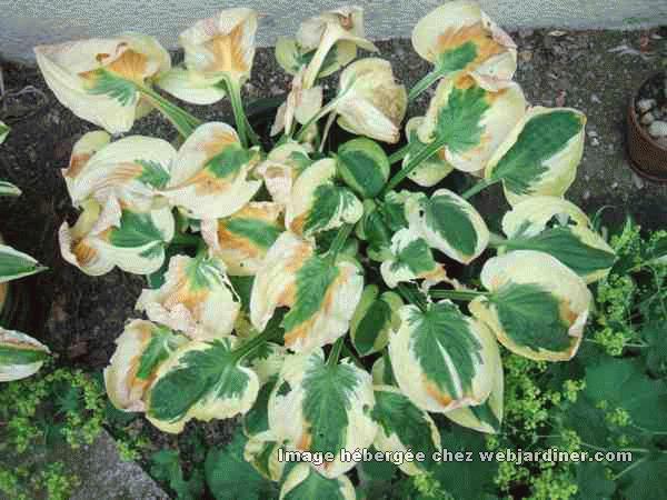 Hostas maladie forum du jardinage amateur for Eleagnus maladie feuilles jaunes