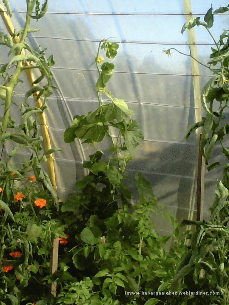 melons faire grimper forum du jardinage amateur. Black Bedroom Furniture Sets. Home Design Ideas