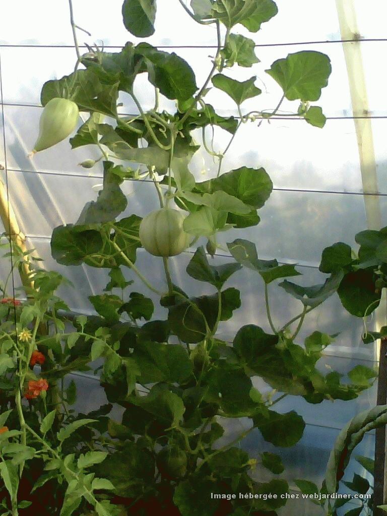 Melons faire grimper forum du jardinage amateur - Quand cueillir un melon ...