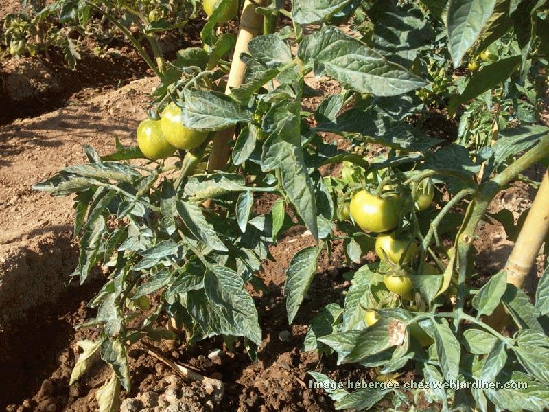 Tomates arrosage en pleine terre forum du jardinage amateur - Quand repiquer les tomates en pleine terre ...