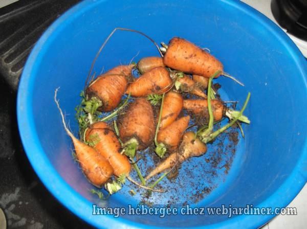 DSCF3378_web.jpgToujours-ces-carottes.jpg